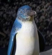 Little Blue (Fairy) Penguin