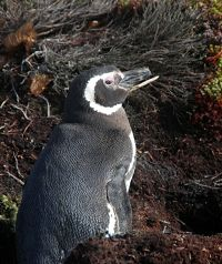Magellanic Penguin in the Wild - thumbnail