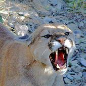 Mountain Lion snarling - thumbnail