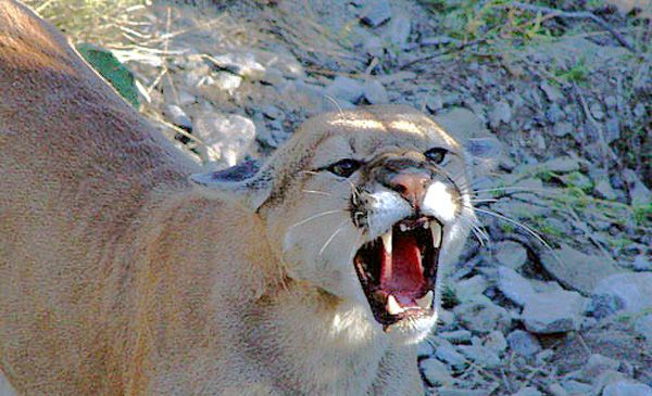 Mountain Lion snarling - lightbox
