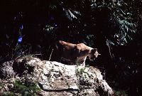Mountain Lion on rock - thumbnail