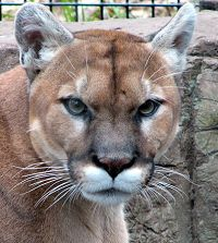 Mountain Lion face forward - thumbnail