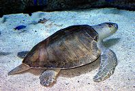 Olive Ridley Sea Turtle - thumbnail
