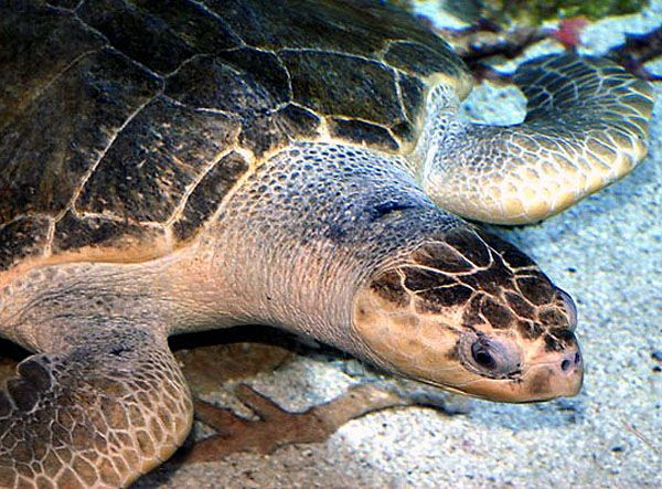 Aquarium of the Pacific | Online Learning Center | Olive