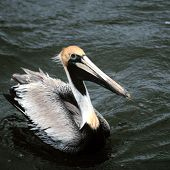 California Brown Pelican links to California Brown Pelican