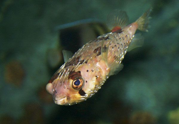 Aquarium of the pacific online learning center for Puffer fish florida