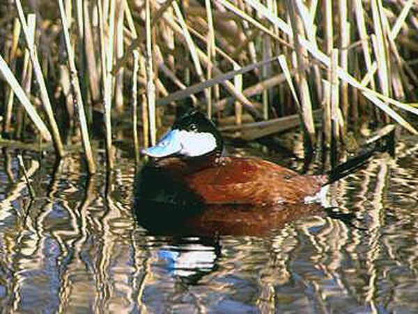 Ruddy Duck - lightbox