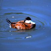 Ruddy Duck links to Ruddy Duck