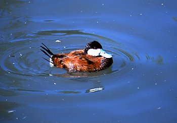 Ruddy Duck - popup