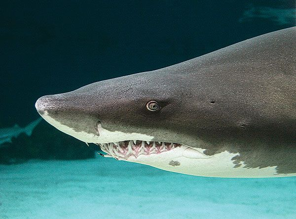 Aquarium of the pacific online learning center sand tiger shark sand tiger shark publicscrutiny Image collections