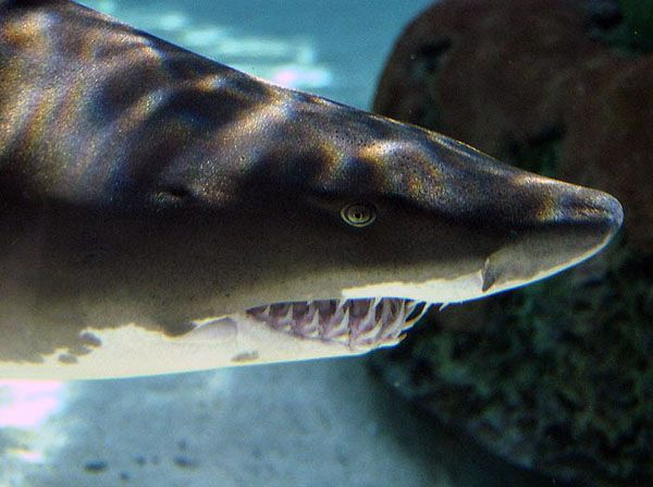 Aquarium Of The Pacific Online Learning Center Sand Tiger Shark - 10 awesome aquariums where you can spend the night with sharks