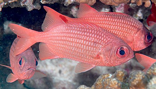 Panamic Soldierfish - popup