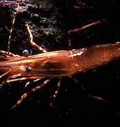 http://www.aquariumofpacific.org/images/olc/spot_prawn_noaa.jpgSpot Prawn{/mainimageOLC} links to Spot Prawn