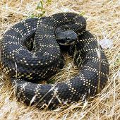 Coiled Southern Pacific Rattlesnake links to Southern Pacific Rattlesnake