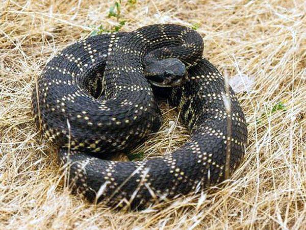 Coiled Southern Pacific Rattlesnake - lightbox