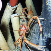 Squat Lobster - thumbnail