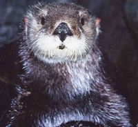 Southern Sea Otter Summer - thumbnail