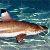 Blacktip Reef Shark links to Blacktip Reef Shark
