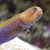 Bluespotted Jawfish Closeup links to Bluespotted Jawfish