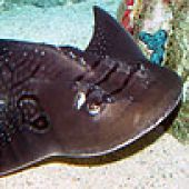 thm_bowmouth.jpg links to Bowmouth Guitarfish