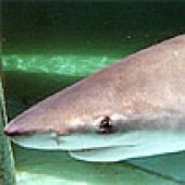 thm_bull_shark.jpg links to Bull Shark