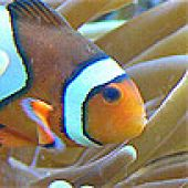 Clown Anemonefish Head links to Clown Anemonefish