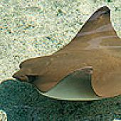 Pacific Cownose Ray Head links to Pacific Cownose Ray