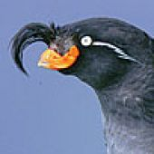 Crested Auklet Head - thumbnail