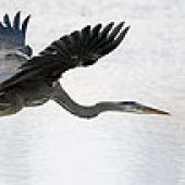 Great Blue Heron Head - thumbnail
