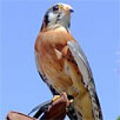 American Kestrel Closeup links to American Kestrel