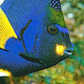 King Angelfish Head - thumbnail