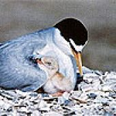 California Least Tern crop links to California Least Tern