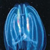 Comb Jelly (Sea Walnut) closeup - thumbnail