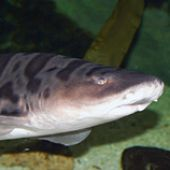 Leopard Shark Frontview - thumbnail