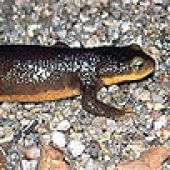 thm_newt.jpg links to California  Newt