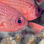 Panamic Soldierfish Closeup links to Panamic Soldierfish