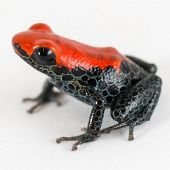 Red-backed Poison Dart Frog - thumbnail