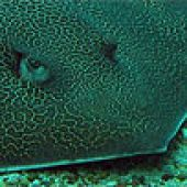 Reticulate Whipray closeup links to Reticulate Whipray