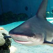 Sandbar Shark Face links to Sandbar Shark