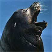 California Sea Lion Head - thumbnail
