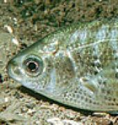 Shiner Surfperch