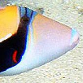 Wedge-tail Triggerfish Head - thumbnail