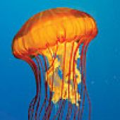 Pacific Sea Nettle Detail - thumbnail