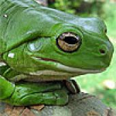White's Tree Frog face view - thumbnail