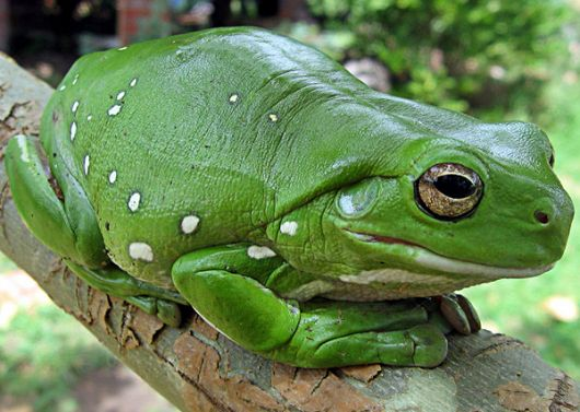 White's Tree Frog - popup