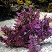 Weedy Scorpionfish links to Weedy Scorpionfish