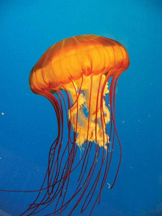 Pacific Sea Nettle - popup