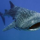 Whale Shark links to Whale Shark