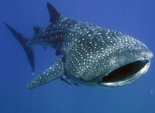 Aquarium of the Pacific | Online Learning Center | Whale Shark