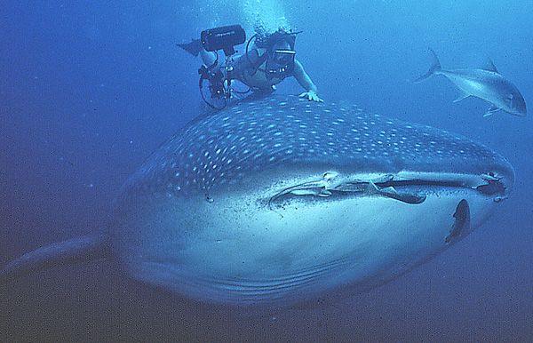 Whale Shark and Diver - lightbox
